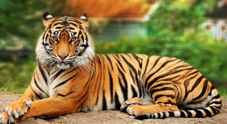 Tiger Dream Meaning and Spirit Animal