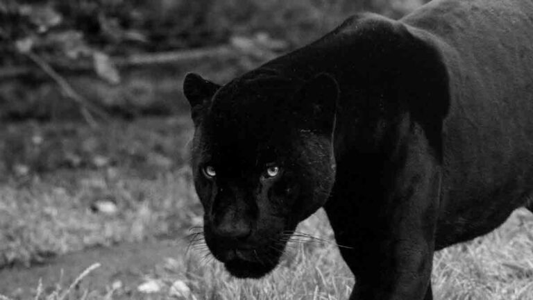 Black Panther Dream Meaning