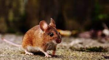 Mouse or Mice Dream Meaning