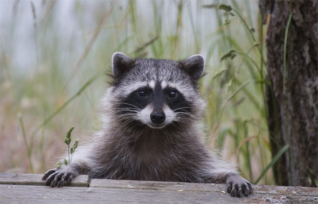 Raccoon Dream Meaning